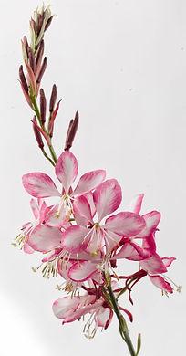 Gaura_Gauriella_Bicolor_flower_-Jaldety_