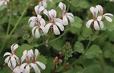 Pelargonium_P._fragrans_©-Jaldety.jpg