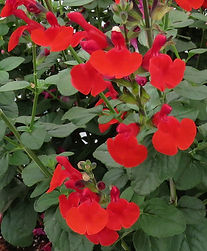 Salvia Royal Bumble - flower - Jaldety.j