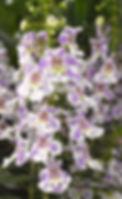 Angelonia Angelos Bicolor - Jaldety.jpg