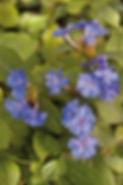 Ceratostigma Plumbaginoides - Jaldety.jp
