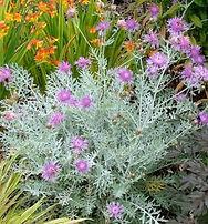 Centaurea Silver Feather Plant- Jaldety.