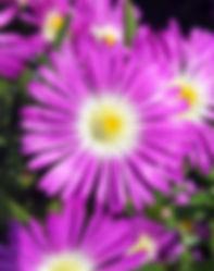 Delosperma WOW Purple - Jaldety.jpg