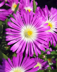 Delosperma WOW Purple - Jaldety.jpg