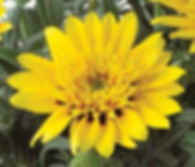 Gazania_SunBathers®_Sunset_Jane_Lemon_Sp