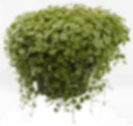 Hydrocotyle Variegata - Jaldety.jpg