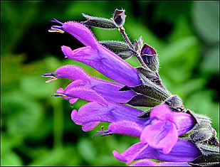 Salvia Amigo -IPM.jpg