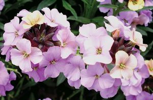 Erysimum Sky Night Skies - Jaldety.jpg