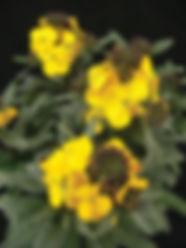 Erysimum Fragrant Sunshine - Jaldety.jpg
