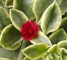 Aptenia_Variegated_flower__-_Jaldety_©.j