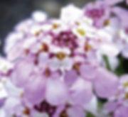 Iberis Pink Ice flower -Jaldety.jpg