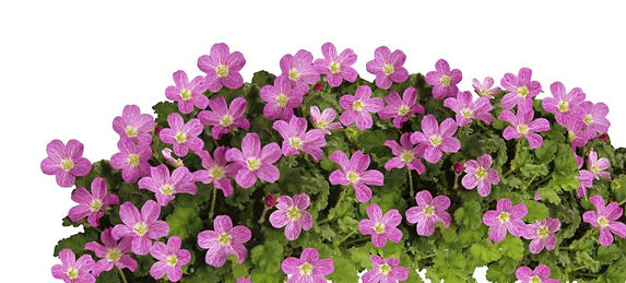 Erodium_Bishop's_Form_-_Jaldety_©.jpg