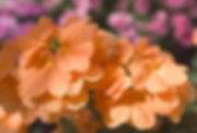 Crossandra Orange Marmelade flower - Jal