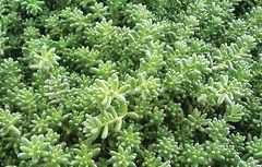 Sedum Album Coral Carpet 2- Jaldety.jpg