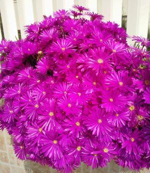Lampranthus_Pink_2_-_Jaldety_©.jpg