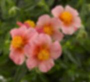 Helianthemum_Ben_Ledi_flowers_-_Jaldety_