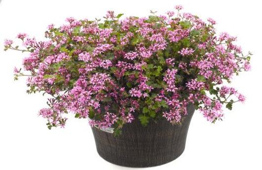 Pelargonium_Pinki_Pinks_Plant_©-Jaldety.