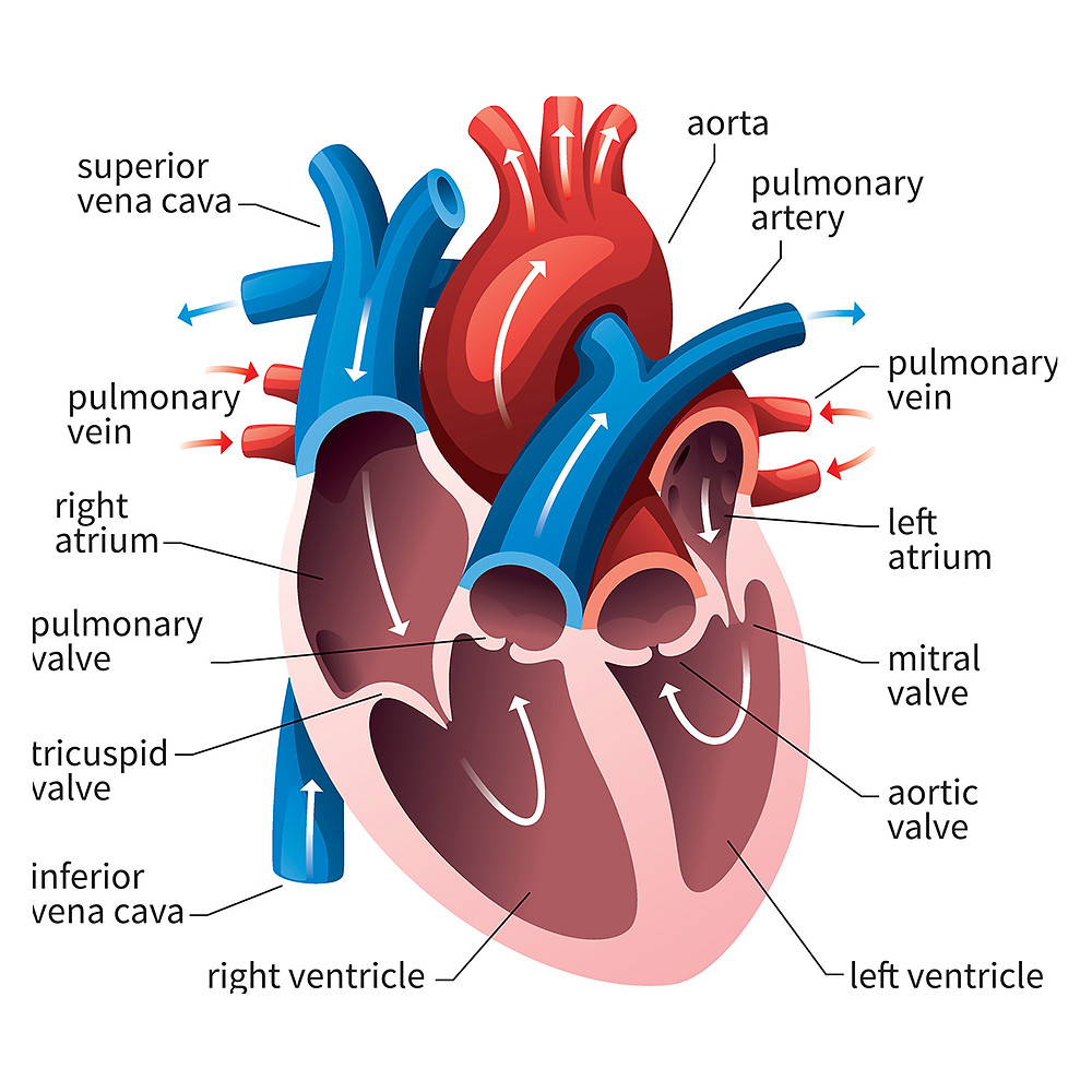 STEME Valentine's Day tribute with descriptions of the anatomical heart, heart chambers, history, love, love hormones, oxytocin, broken heart, heart surgery, open heart surgery, Dr. Daniel Hale Williams, the first African American physician admitted to the American College of Surgeons, valves, atria, ventricles, blood, arteries, artery, vein, James Cornish, broken heart syndrome, STEM, Steme
