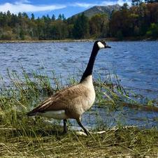 Lake Goose