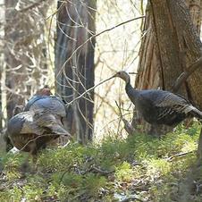Turkeys at Lake