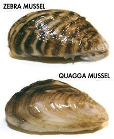 quagga and zebra mussell.jpeg