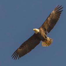 Bald Eagle Over Lake