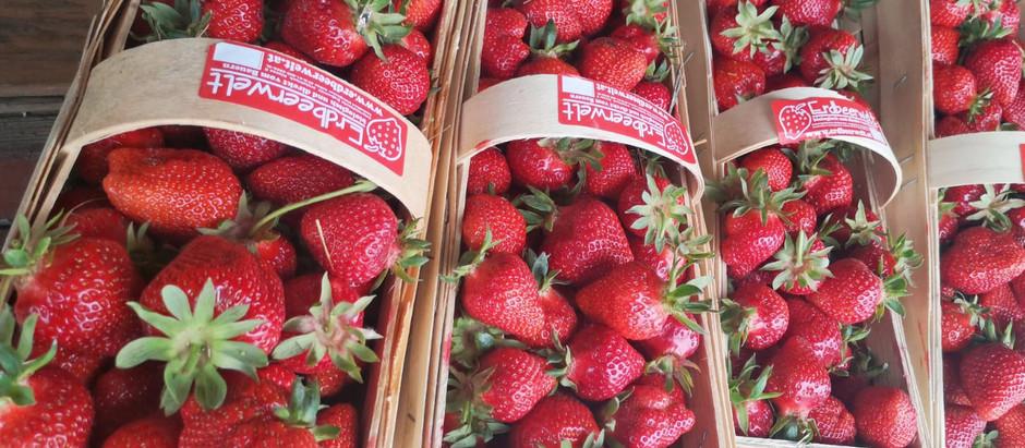 Unsere Bio-Erdbeeren sind reif!