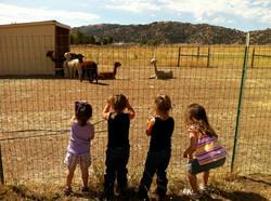 Adorable Alpacas Tours
