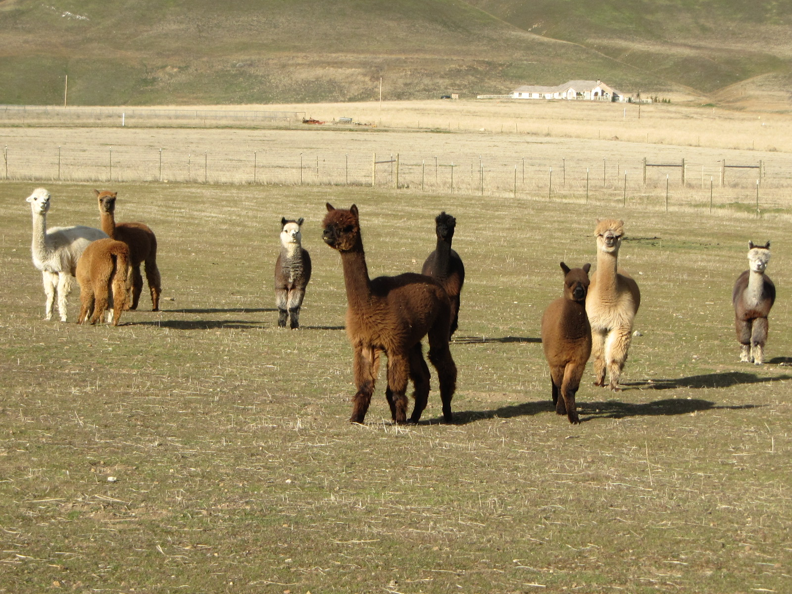 Adorable Alpacas Pronking