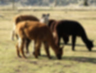 Adorable Alpacas Cria Grazing At The Ranch
