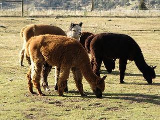 Adorable Alpacas Cria Grazing At The Ranch