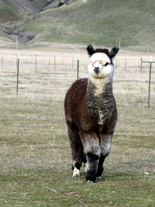 Jerico of Adorable Alpacas