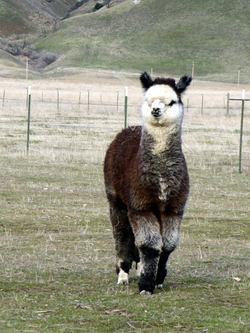 Jerico of Adorable Alpacas