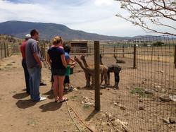 Adorable Alpacas Visitors