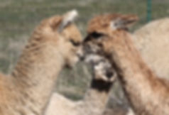 Meet Huacaya and Suri Alpacas