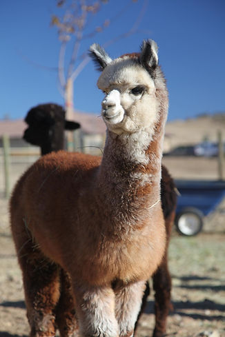Adorable Alpacas Iron Man