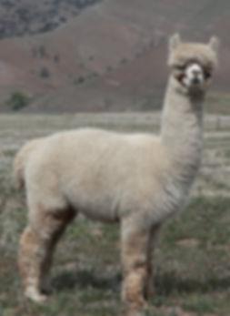 Adorable Alpacas' Alan's Mad Max