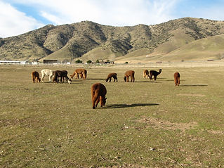 Adorable Alpacas Grazing in a pasture at the ranch.
