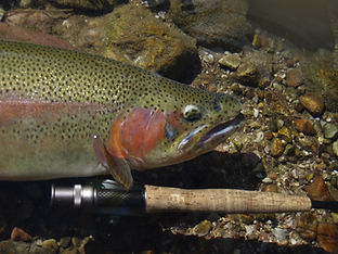 Rainbow Trout - fly rod