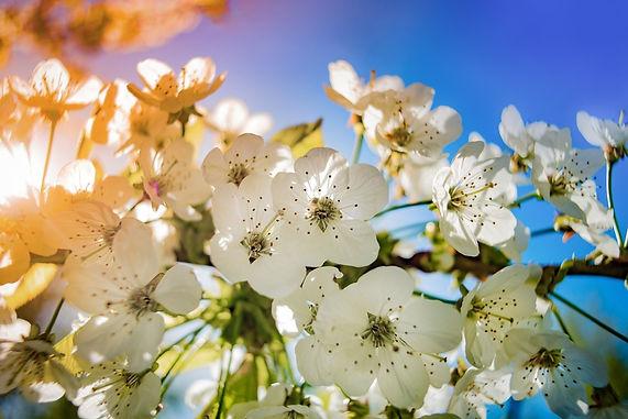 papier-peint-photo-la-fleur-de-pommier_b