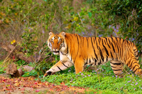 Tiger Spotted at Jim Corbett National Park
