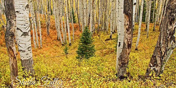 Alone Among Aspen, Aspen, Forest, Colorado, Autumn
