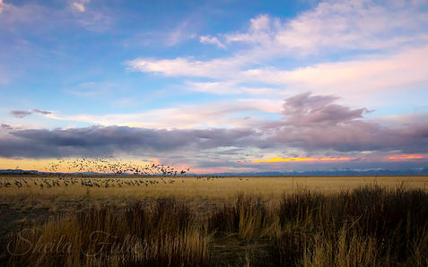New Day, Sandhill Cranes, Cranes, Alamosa, Monte Vista, Colorado, Sunrise, Birds in Flight