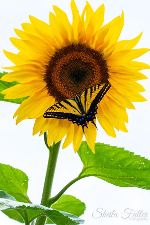 Happy, Sunflower, Swallowtail Butterfly, Summer