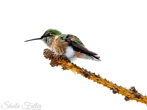 Framed Hummingbird Collection