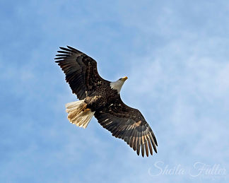 Bald Eagle, Eagle in Flight, Blue Sky