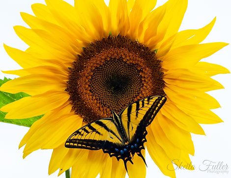 Walkin' on Sunshine, Sunflower, Swallowtail Butterfly