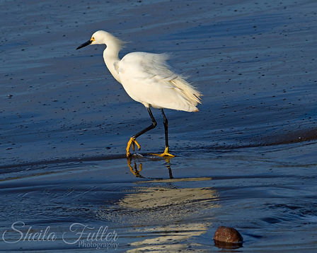 Walk On, Egret on Blue, California,