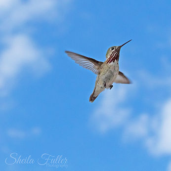 Free, Hummingbird in Flight, Blue Sky