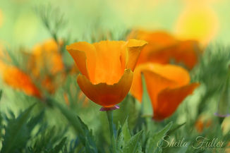 Sing, California Poppy,